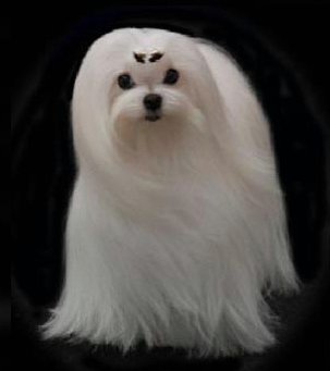 Maltese Breeder of Maltese Puppies